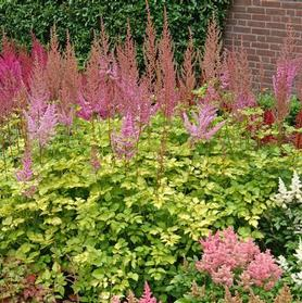 Astilbe x Color Flash Lime
