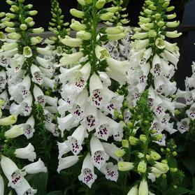 Digitalis purpurea 'Dalmatian White Improved'