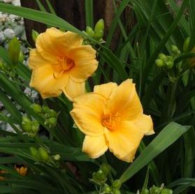 Hemerocallis 'Endlessly Orange'