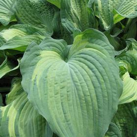 Hosta 'Guardian Angel'