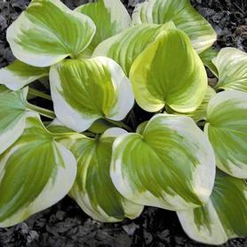 Hosta 'Sweet Innocence'