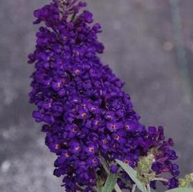 Buddleia 'Buzz™ Midnight'