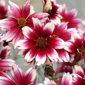 Coreopsis 'Satin and Lace™ Berry Chiffon'