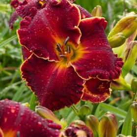 Hemerocallis 'Naughty Red'