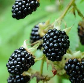 Blackberry 'Black Satin Thornless'