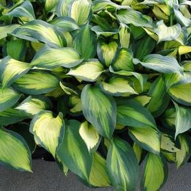 Hosta 'Forbidden Fruit'