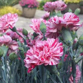 Dianthus 'Devon Cottage™ Pinball Wizard'