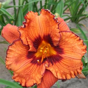Hemerocallis 'Blaze of Glory'