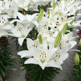 Lilium - Asiatic Pot Lily Looks™ 'Tiny Crystal'