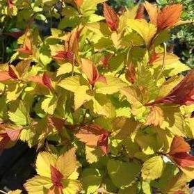 Spirea japonica 'Magic Carpet'