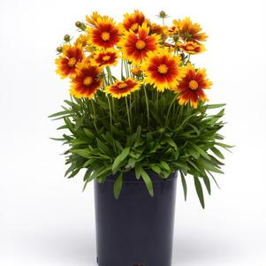 Coreopsis hybrida 'Uptick™ Gold and Bronze'