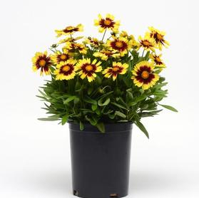 Coreopsis hybrida 'Uptick™ Yellow and Red'