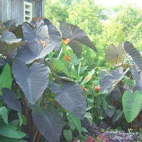 Elephant Ears - Colocasia esculenta 'Black Magic'
