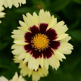 Coreopsis hybrida 'Uptick™ Cream and Red'