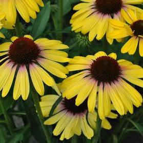 Echinacea purpurea 'Butterfly™ Yellow Rainbow Marcella'
