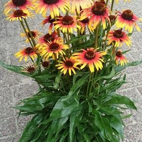 Echinacea purpurea 'Fine Feathered™ Parrot'