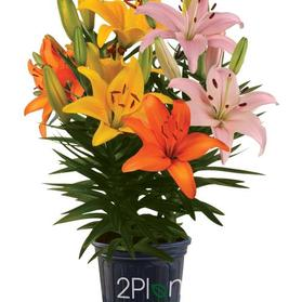 Lilium - Lily Looks™ 'Patio Sunrise Combo'