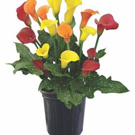 Calla 'Trio Sunshine'