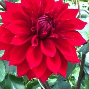 Dahlia Tall Dinner Plate 'Babylon Red'