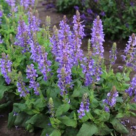 Salvia nemorosa Marvel Series Sky Blue Marvel