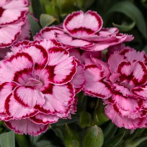 Dianthus 'Constant Beauty™ Crush Pink'