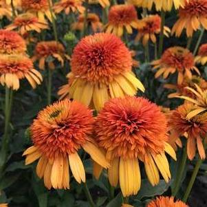 Echinacea purpurea 'Orange Fascinator'