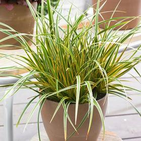 Carex oshimensis 'Evercolor® Everglow'