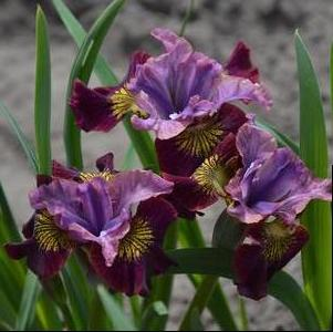Iris siberica 'Peacock Butterfly™ Miss Apple'