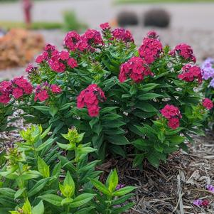 Phlox Bambini® Series paniculata 'Cherry Crush'
