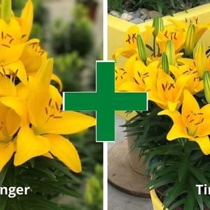 Lilium - Asiatic Pot Lily Looks™ 'Bloom Extensions™ Yellow'