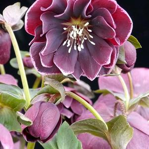 Helleborus orientalis 'North Star™ Plum'