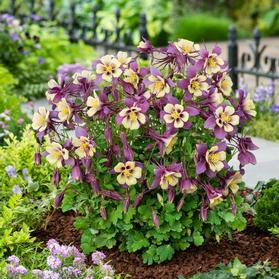 Aquilegia F1 'Earlybird™ Purple Yellow'