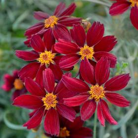 Coreopsis 'Permathread™ Red Satin'