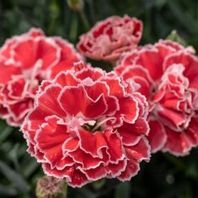 Dianthus 'Constant Beauty™ Crush Orange'