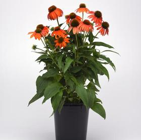 Echinacea hybrida 'Artisan™ Soft Orange'