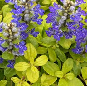 Ajuga 'Feathered Friends™ Cordial Canary'