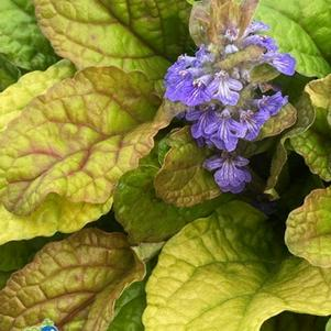 Ajuga 'Feathered Friends™ Parrot Paradise'
