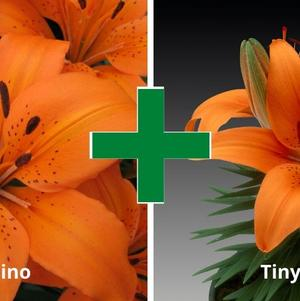 Lilium - Asiatic Pot Lily Looks™ 'Bloom Extensions™ Orange'