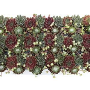 Sempervivum Chick Charms® 'Trio Berries and Cream™'