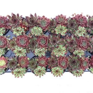 Sempervivum Chick Charms® 'Trio Cherry Cordial™'