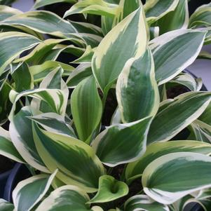 Hosta 'Lakeside Spruce Goose'