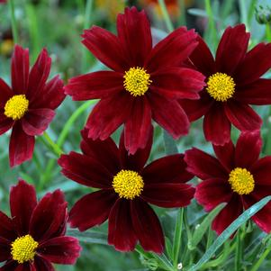 Coreopsis 'Li'l Bang™ Red Elf'