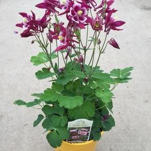 Aquilegia vulgaris 'Winky Red and White'
