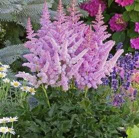 Astilbe chinensis Little Vision in Purple