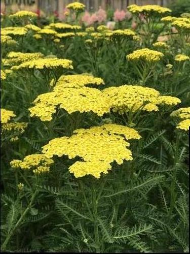 Achillea millefolium Sunny Seduction