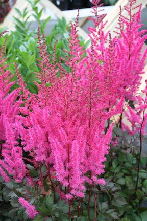 Astilbe chinensis Mighty™ Chocolate Cherry