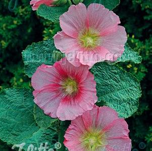 Alcea rosea Spotlight™ Radiant Rose