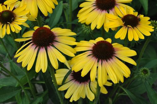 Echinacea purp. Butterfly™ Yellow Rainbow Marcella