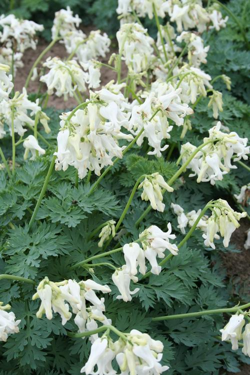 Dicentra x Ivory Heart