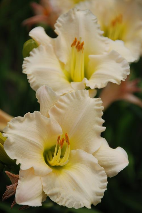Hemerocallis Lullaby Baby